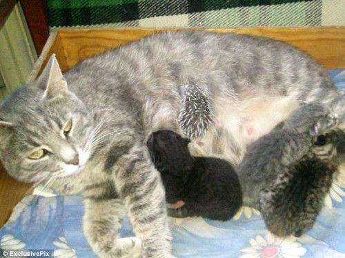 母猫当奶妈悉心喂养遭遗弃刺猬宝宝(组图)
