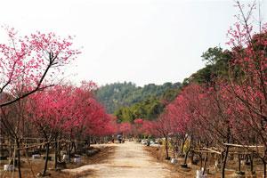盘点广东最佳的樱花观赏胜地