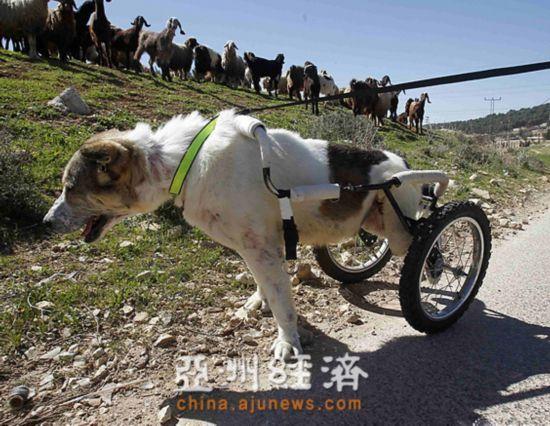 牧羊犬瘫痪后装上轮椅仍帮人放牧(图)