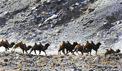 甘肃发现最大野骆驼种群(图)