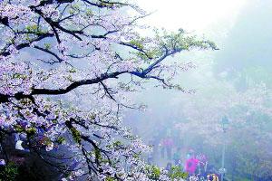 春色无边 赏樱正当时