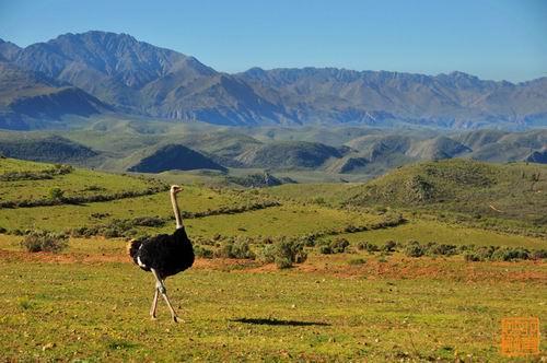 南非奥德舒恩:一个流行吃鸵鸟肉的地方