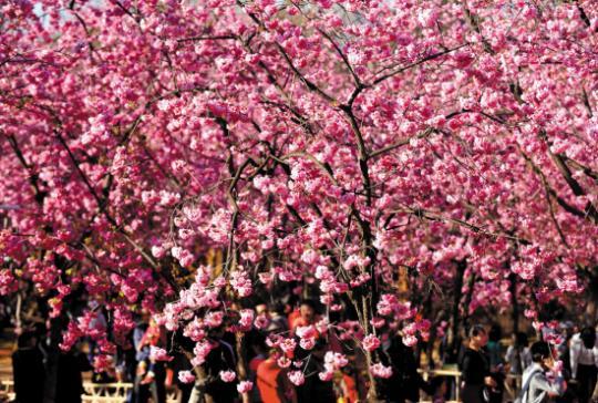 又到一年樱花烂漫时 哪里的樱花更有意境?