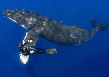 """潜水员与近16米长座头鲸亲密""""握手"""""""