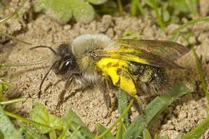 """英国灭绝68年的蜜蜂神秘""""复活"""""""