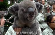 全球最大考拉海外种群在广州