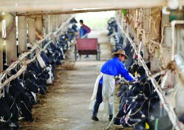 博罗倒奶潮:坚守者仍在倒奶 无奈者含泪卖牛