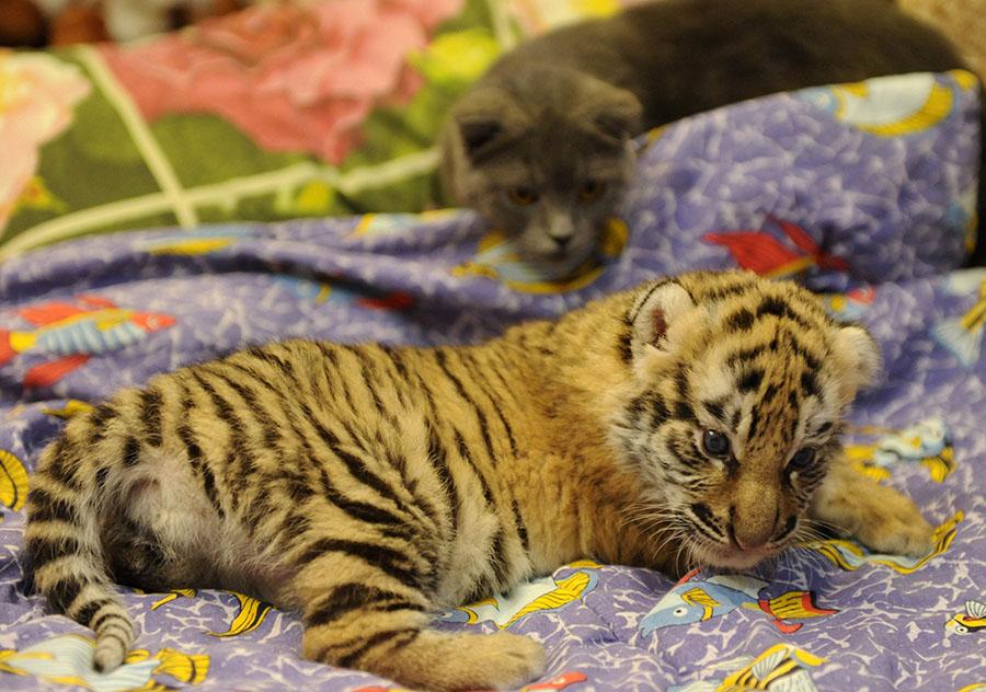 一只被母亲遗弃的老虎幼崽在兽医
