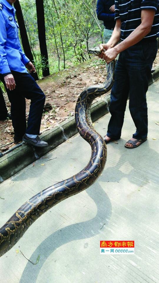 9米长巨蟒生吞老虎:8米巨蟒:8米巨蟒